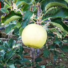 新品种:黄元帅苹果苗基地供应、房山美国8号苹果树苗选购图片