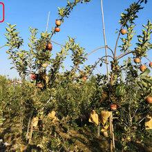 新品種:7公分蘋果樹領先的育苗技術、深圳M106蘋果苗價格_誠信經營