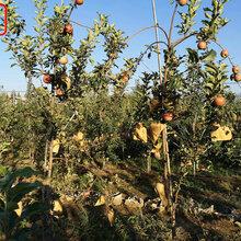 新品種:3公分蘋果樹特價批發、營口世界一蘋果樹主要用途是什么