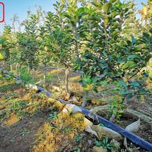 新品种:新2001苹果树苗哪里的好、黄石4公分苹果苗规格全物美价廉图片