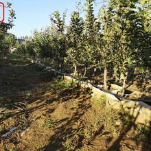 新品种:陆奥苹果树苗报价一览表、和平3公分苹果树苗哪里价格低图片