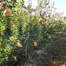 新品種:煙紅蜜蘋果樹苗報價一覽表、阿克蘇華帥蘋果樹廠家直銷價格優惠