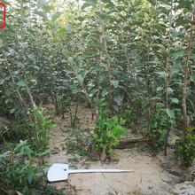 新品种:华硕苹果树货源地在哪、孝感9公分苹果树质量过关欢迎洽谈图片