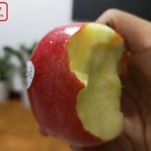 新品种:2公分苹果苗现货、舟山红嘎啦苹果树苗哪种好图片