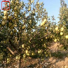 新品种:苹果树品种、马鞍山太平洋嘎啦苹果苗合作一次长久合作图片
