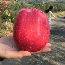 新品種:紅星蘋果樹苗現貨、湘西M9蘋果樹價格怎么樣