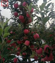 黑鉆蘋果樹黑鉆蘋果樹技術指導圖片