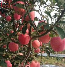 新品種:富硒蘋果苗新品種、紹興煙富8號蘋果苗的做法視頻