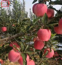 新品種:7cm蘋果苗出售、陽江亞他卡蘋果樹豐產果型