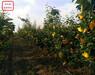 2cm蘋果樹苗圖片、2cm蘋果樹苗一畝栽多少棵