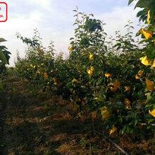 新品種:m9t337蘋果樹苗哪家好、亳州4cm蘋果苗哪家好