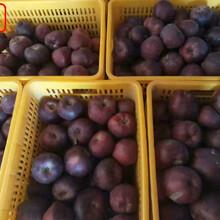 新品种:华冠苹果树苗不二之选、塘沽福艳苹果苗多少钱一棵图片