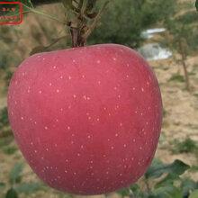 新品種:M9蘋果樹苗哪里有賣、海淀新2001富士蘋果樹苗哪個廠家口碑好