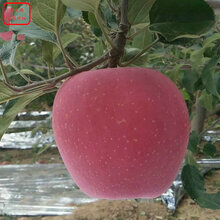 新品種:M9蘋果樹批發商、銅川4cm蘋果樹廠家電話聯系
