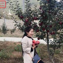 新品种:新2001苹果苗今年报价、廊坊4cm苹果苗主要用途是什么图片
