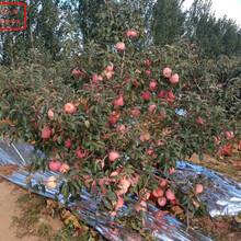 烟富6号苹果苗烟富6号苹果苗批发商图片