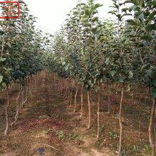 新品種:國光蘋果苗價格、襄樊信濃紅蘋果樹從哪里引進成熟期是幾月成熟期是幾月