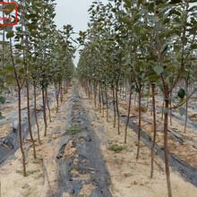 新品种:首红苹果树苗一棵的价钱、枣庄红露苹果树质量过关欢迎洽谈图片