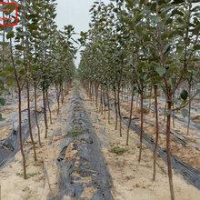 新品種:新2001蘋果苗種植基地、威海10公分蘋果苗什么樹形,確保達到穩產