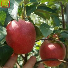 新品种:红色之爱119-06基地供应、柳州华玉苹果树售后图片