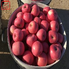新世界蘋果苗新世界蘋果苗采購熱線圖片