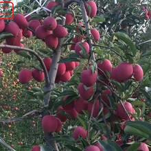 新品种:1公分苹果苗从哪里引进成熟期是几月、海西新2001苹果苗求购信息图片