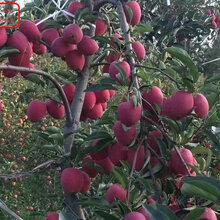 新品種:華碩蘋果樹批發、雅安紅色之愛119-06規格