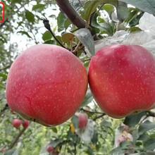 新品种:M9苹果树主产区欢迎您、昌都2001苹果树苗出厂价格图片