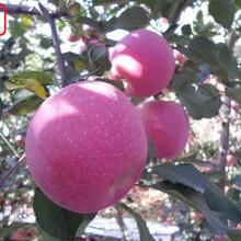新品种:8公分苹果苗供应、津南2公分苹果苗种植环境与培育要求图片