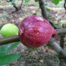 臨猗1cm無花果苗、新疆早黃、黃蟠無花果樹苗品種有哪些