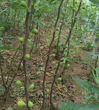 麗江2cm無花果樹苗、2公分無花果樹苗新品種
