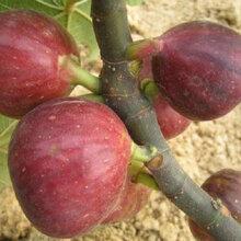 鄭州蓬萊柿無花果苗、日紫無花果樹苗銷售