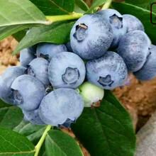 赫伯特藍莓苗赫伯特藍莓苗種植技術圖片