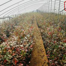 贵蓝蓝莓苗贵蓝蓝莓苗价格实惠图片