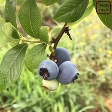 乌达德蓝莓苗乌达德蓝莓苗定购热线图片
