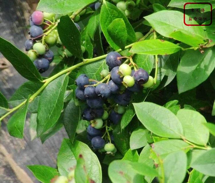 达柔蓝莓苗 达柔蓝莓苗基地供应