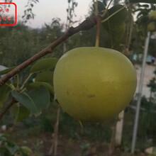 矮化梨树苗矮化梨树苗特价批发图片