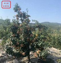 黄金梨树苗培育基地、黄金梨树苗种植基地图片