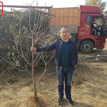 泰彤樱桃树泰彤樱桃树货源地在那图片