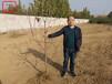 拉賓斯櫻桃苗種植技術拉賓斯櫻桃苗批發