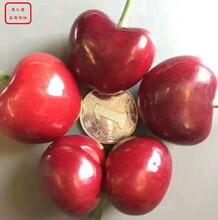 美早櫻桃樹苗美早櫻桃樹苗今年價格圖片