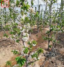 明珠樱桃树明珠樱桃树种植技术图片