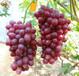 紫甜無核葡萄樹苗現貨紫甜無核葡萄樹苗