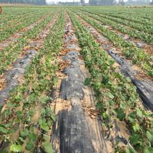 蜜汁葡萄树苗市场前景蜜汁葡萄树苗图片