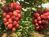 釀酒葡萄苗今年價格釀酒葡萄苗