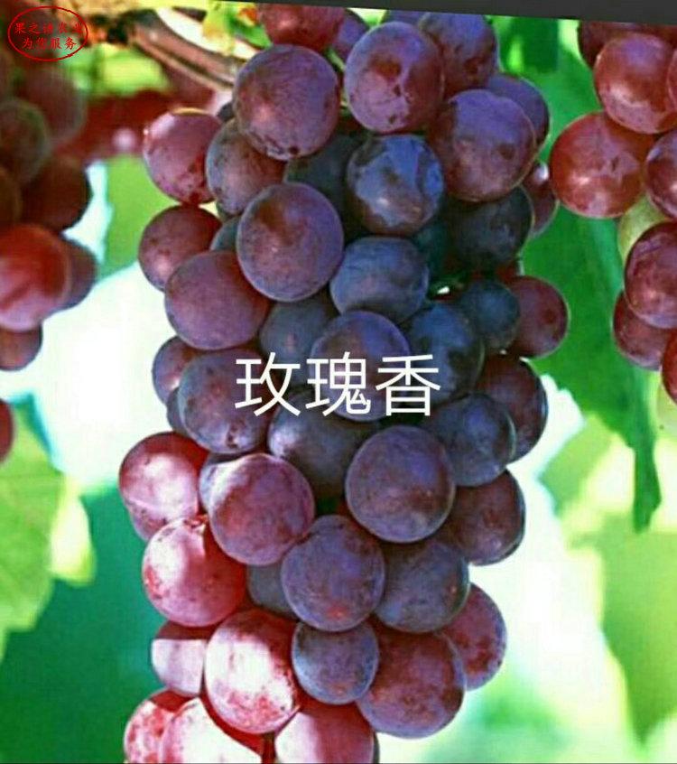 赤霞珠葡萄苗 赤霞珠葡萄苗種植技術