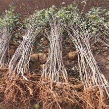 阳泉矮化鲁丽苹果树苗成长特性图片