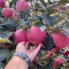 鲁丽苹果苗图片、鲁丽苹果苗市场前景图片