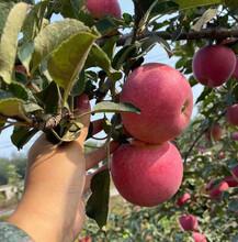 红星苹果苗厂家、红星苹果苗厂家图片