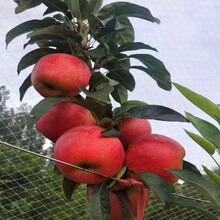 鸡心果苹果苗技术指导、鸡心果苹果苗主产区欢迎您图片